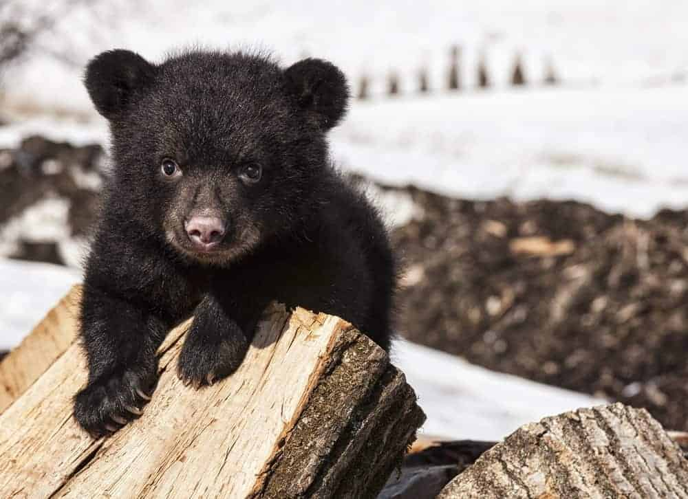 Black bear cub playing on pile of wood