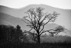 Black and white picture of a tree in the Smoky Mountains