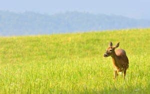 deer grazing on grass in Cades Cove