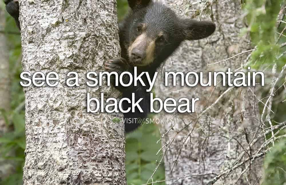 view of Smoky Mountain black bear