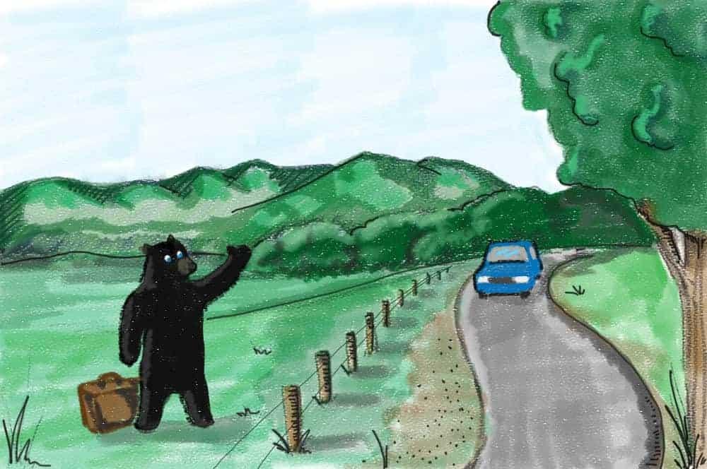 A black bear hitchhiking in Cades Cove.