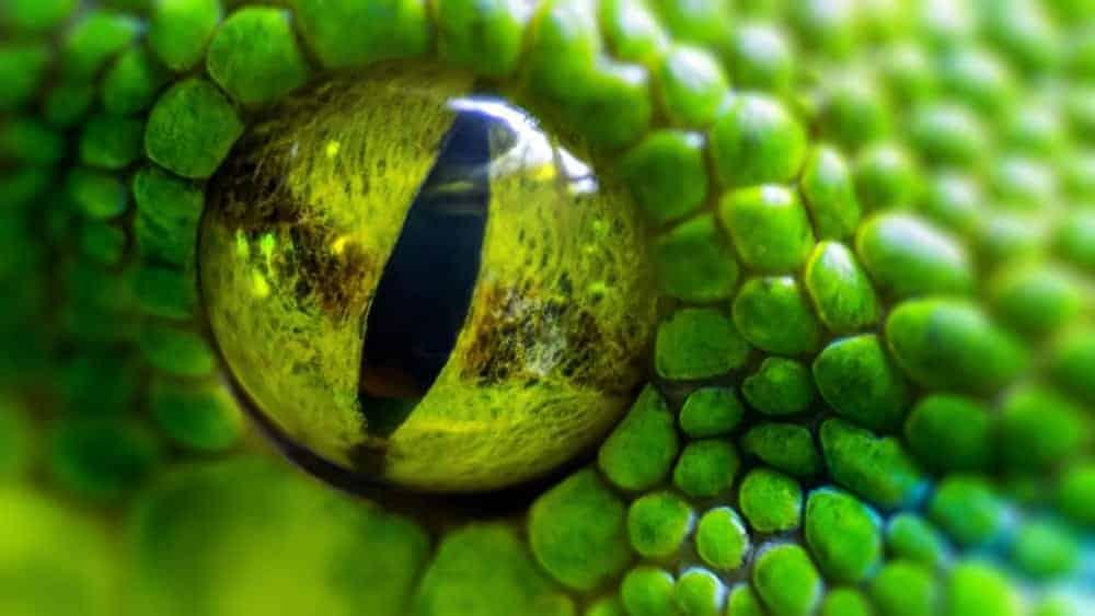 Closeup of a snake's eye.