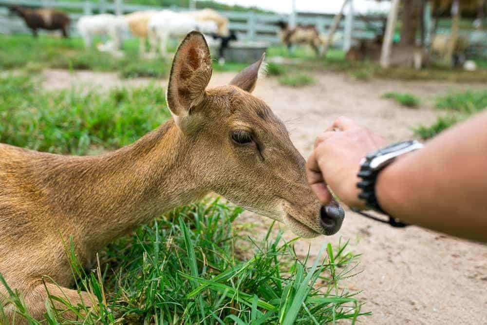 baby deer at petting zoo