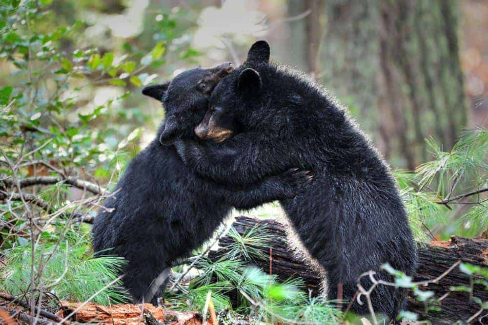 two black bear cubs in smoky mountains