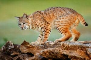 bobcat in the smoky mountains