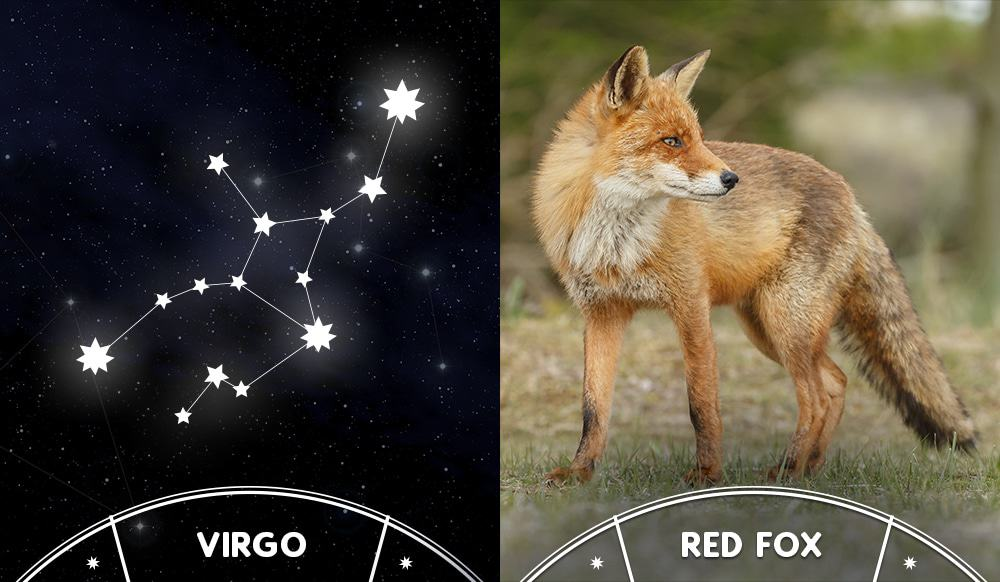 red fox and virgo sign