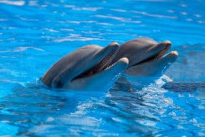 dolphins in pool at attraction